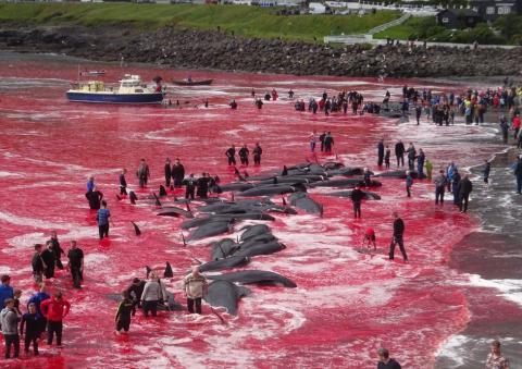 _103042577_whale_killing_35_trianglenews