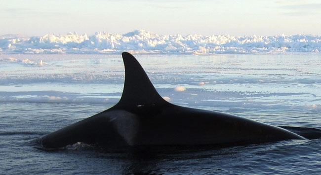 norveçte balina avı